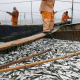 Dagestan to resume industrial fishing of legendary Caspian sprat